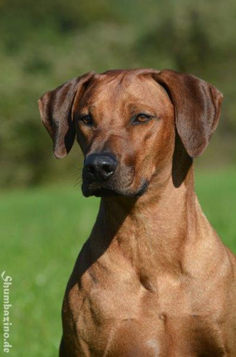Rhodesien Ridgeback als wachhund